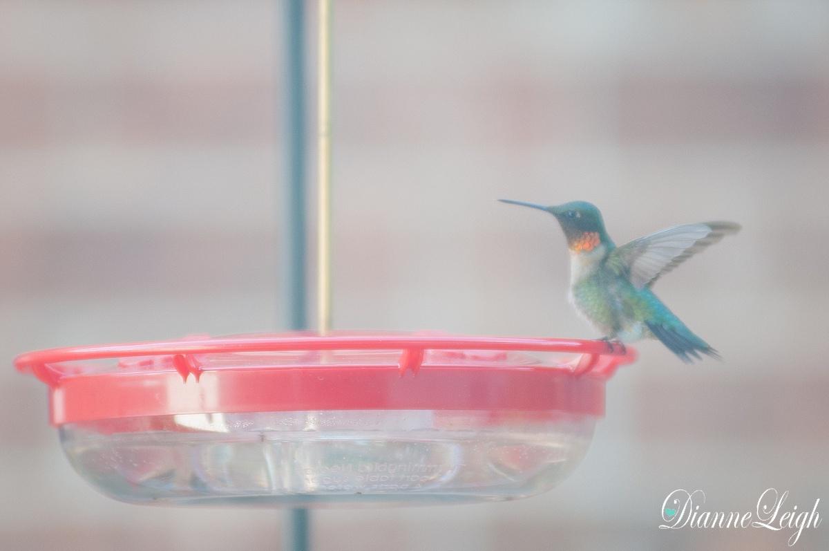 hummingbird_ruby throat_dianneleigh_1000