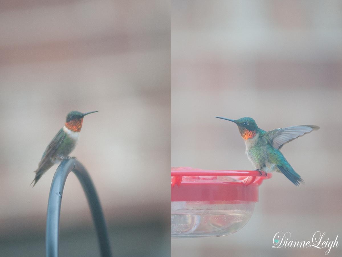 hummingbird_ruby throat_dianneleigh_1001