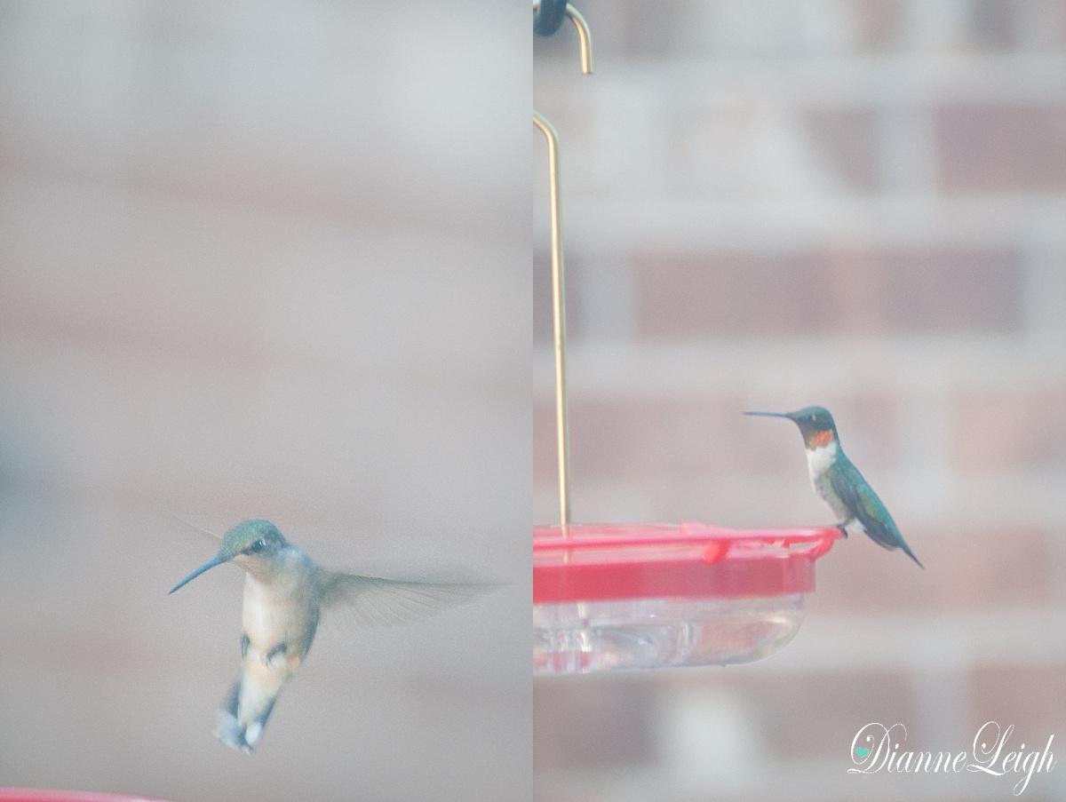 hummingbird_ruby throat_dianneleigh_1003